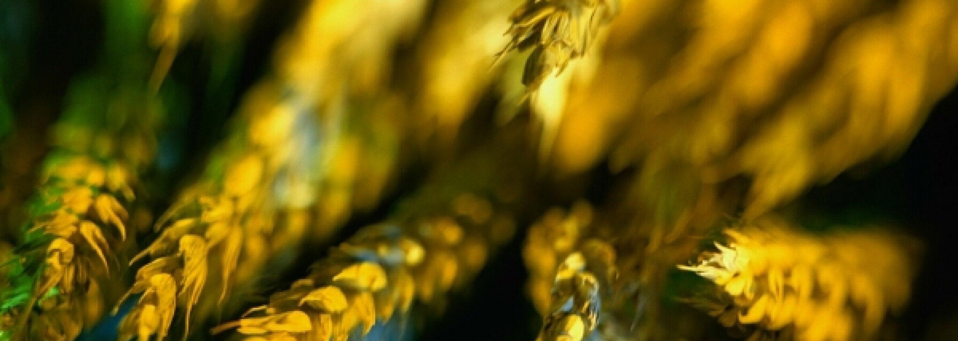 Weizen Gerste
